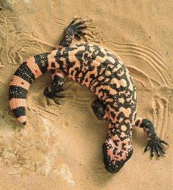 Ящерица Хила арзионский ядозуб Gila Monster